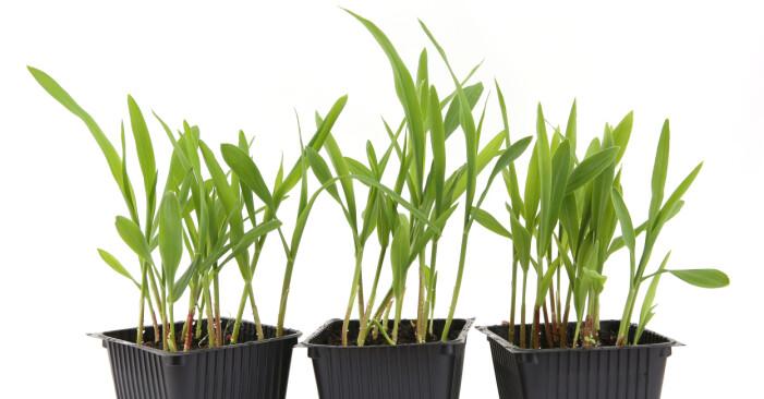 popcorngräs som kan växa till popcornpalmer